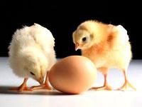 Купить цыплят оптом (фото)