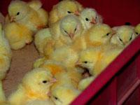 выращивание цыплят бройлеров (фото)